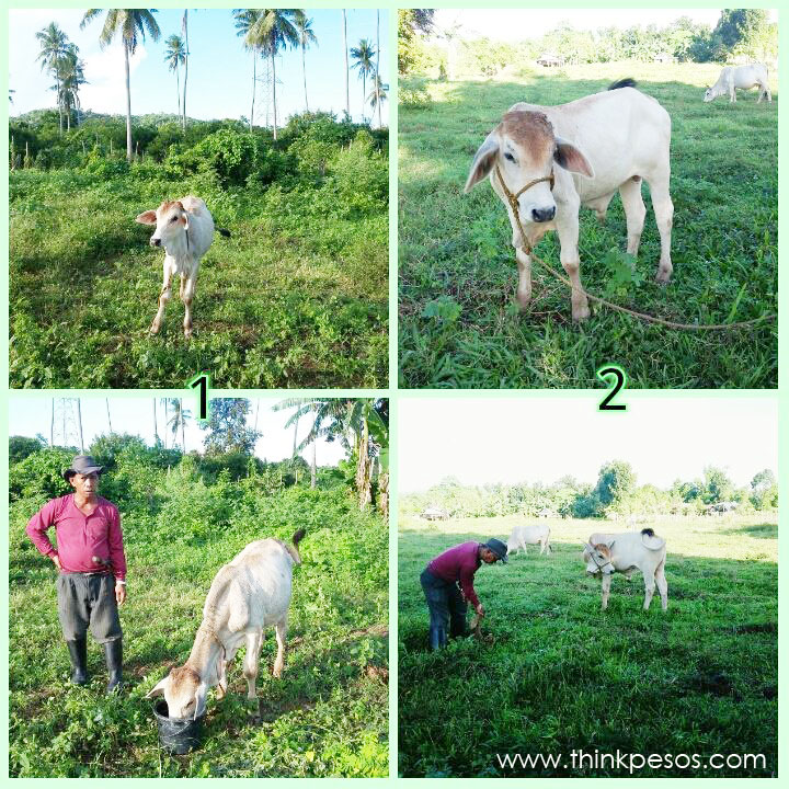 Backyard Cattle Farming Investment copy